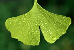 은행잎-메니에르병 개선을 위한 좋은 음식