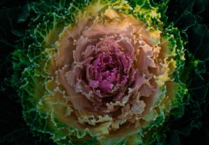 양배추-십자화과 야채