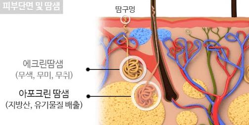 다한증 및 액취증 설명 필수적인 땀샘 종류